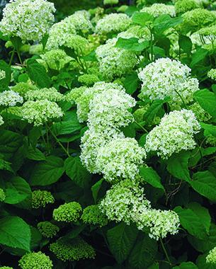 Smooth hydrangeas (H. arborescens and cvs., Z 4–9)