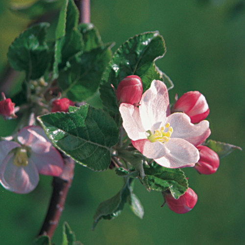Sources for apple trees