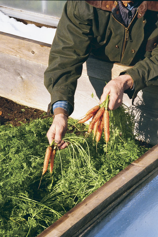 Carrots in a cold frame