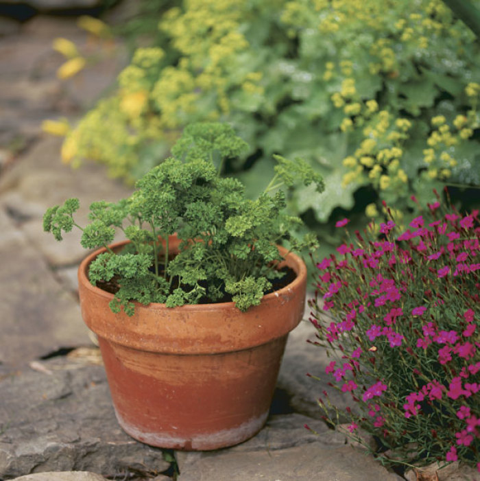 Pretty in pots or in beds, curly-leaf parsley plays a dual role as an ornamental plant and a culinary herb.