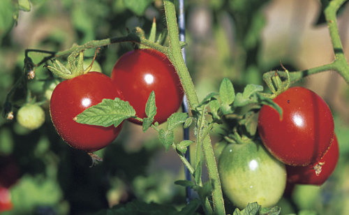Grow healthy, productive tomatoes