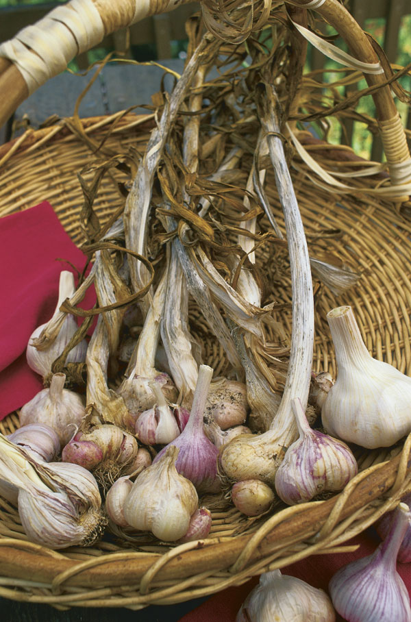 Making the most of garlic