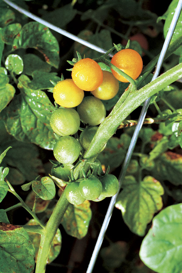 Growing Trouble-Free Cherry Tomatoes