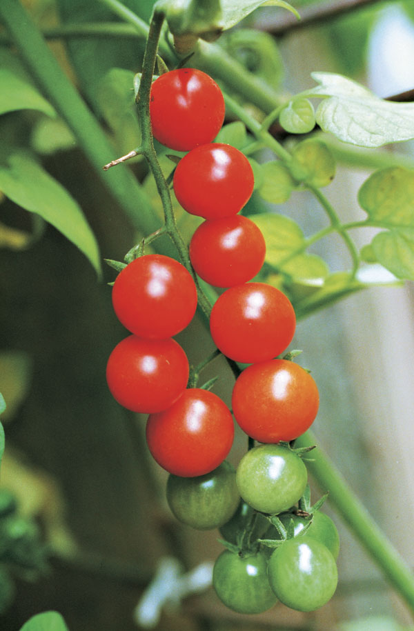 Currant tomatoes