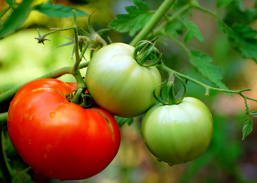 How to Start Tomato Plants from Cuttings
