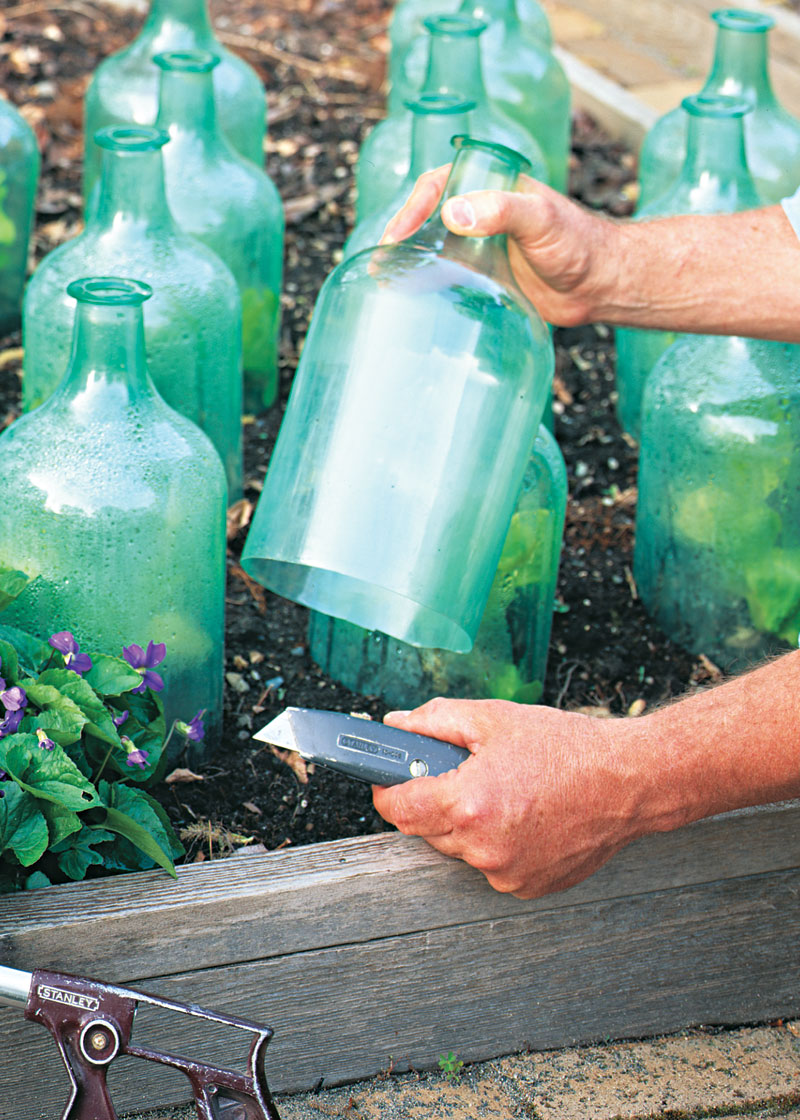 Plastic jugs make cheap cloches