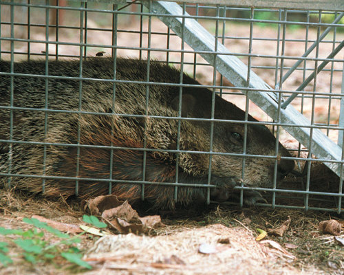 Woodchuck in a cage trap