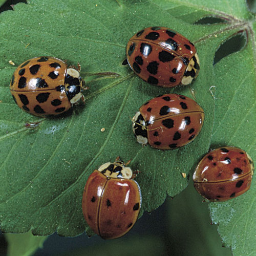 Lady beetles