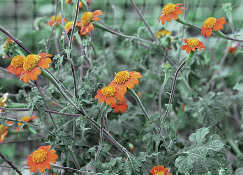 Mexican sunflower (tithonia)