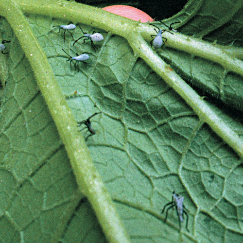 Squash bugs, nymphal stage