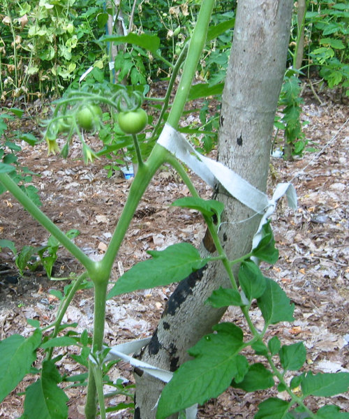 Tomato vines cant climb by themselves. They benefit from support, and a short length ripped from an old sheet makes a perfect tie.