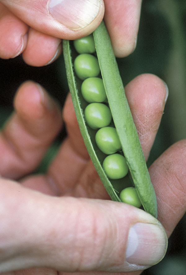 Plant Some High-Yielding, Low-Growing Peas