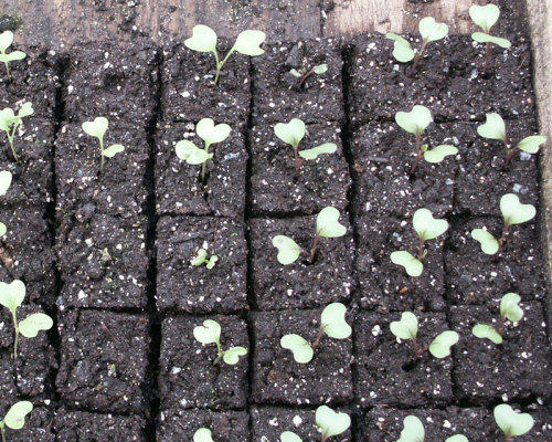 Seedlings emerge