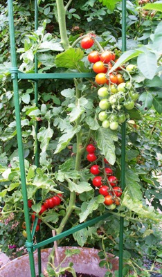 'Tomaccio' Tomatoes Are All Dried Up