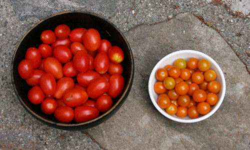 Juliet tomato and Sun Gold tomato