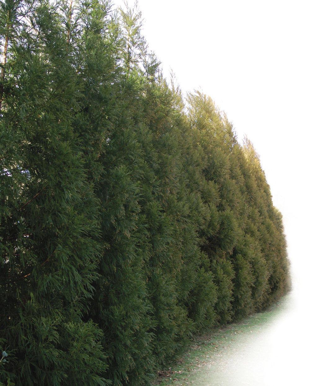 'Yoshino' Japanese cedar
