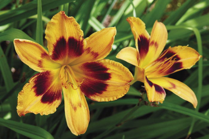 'Radiant Greetings' daylily
