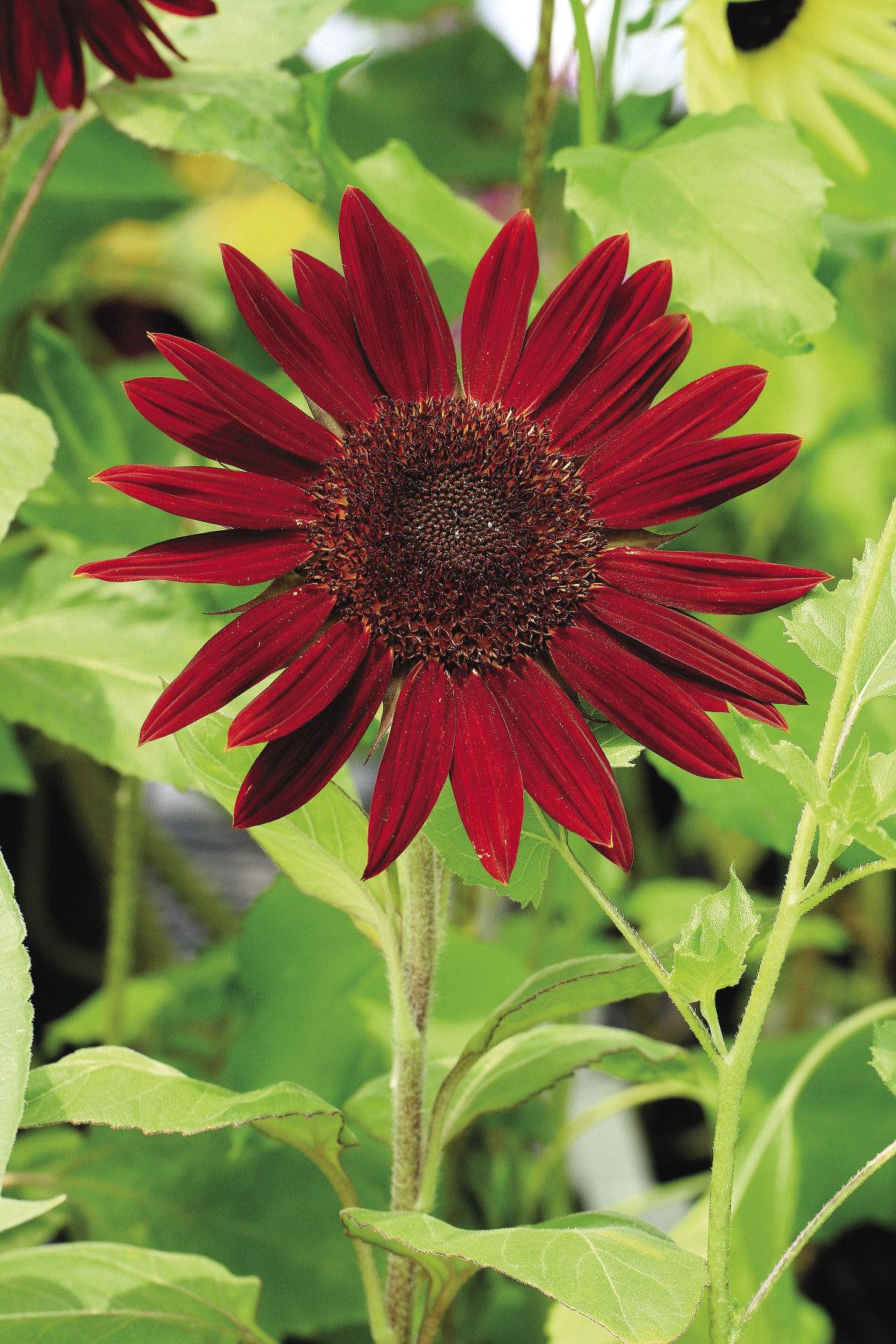 prado red sunflower