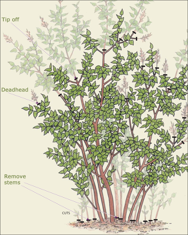 Pruning Lilacs Diagram