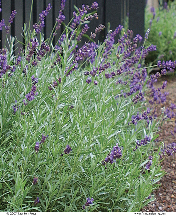 Pruning Lavender Sage And Other Subshrubs