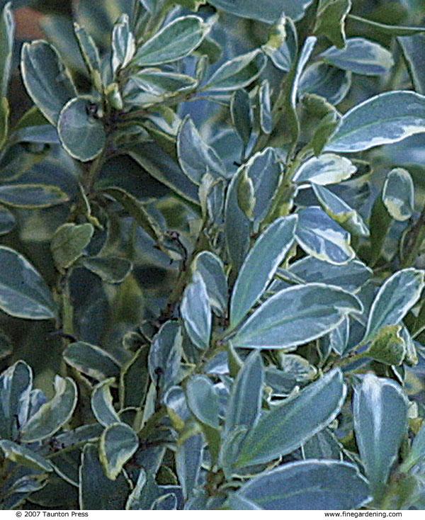 Holly shrubs
