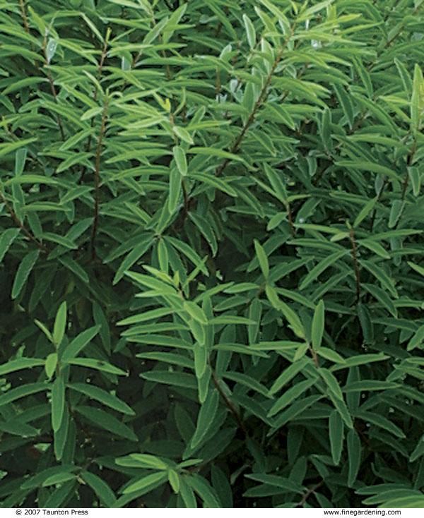 daphne shrubs