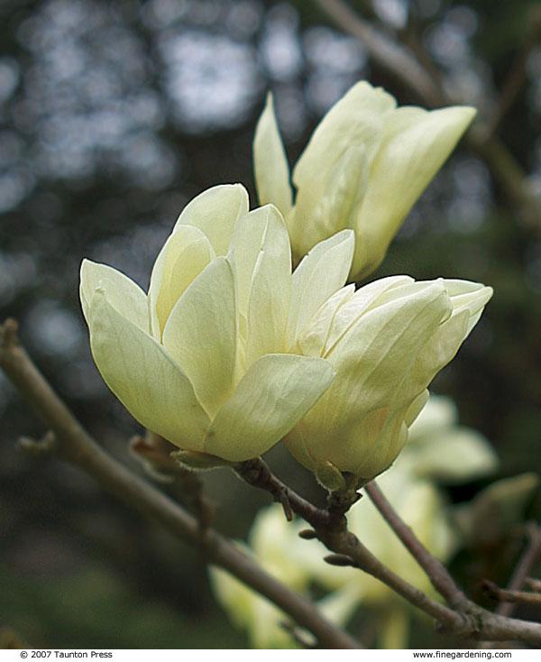 magnolia shrubs
