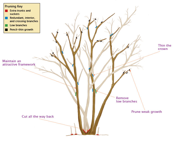 Pruning Crape Myrtles Diagram