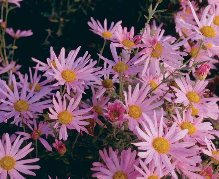 'Clara Curtis' daisy (Dendranthema zawadskii)