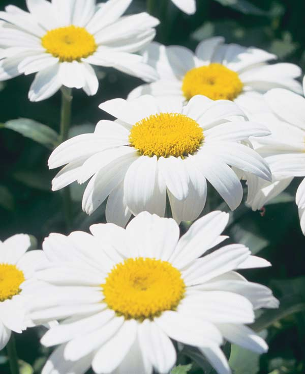 Shasta daisy (Leucanthemum × superbum)