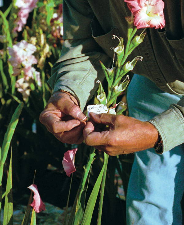 Attach a tag to the plant that you just pollinated, noting both the pollen and seed parents.