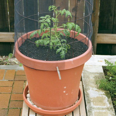 How to Grow Tomatoes in Containers - FineGardening