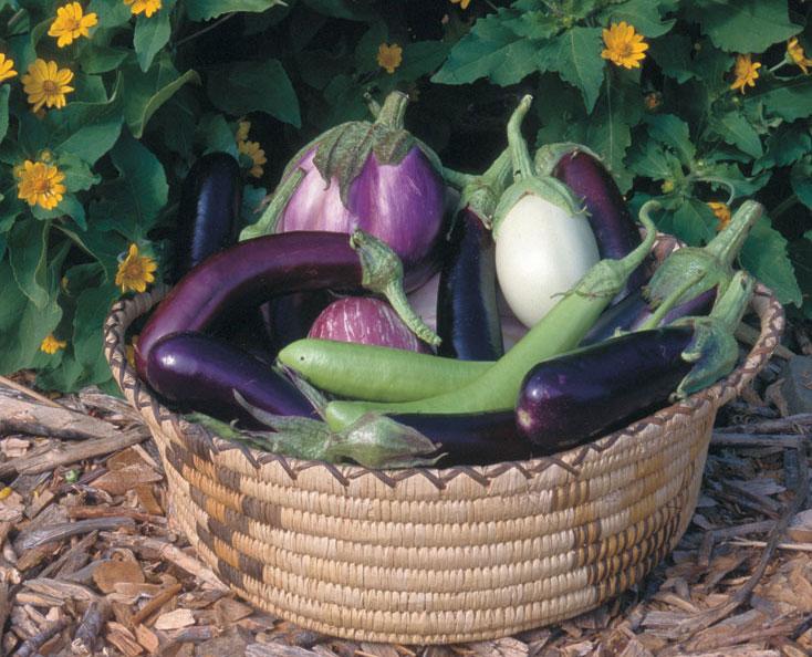 Growing Eggplants Successfully Finegardening