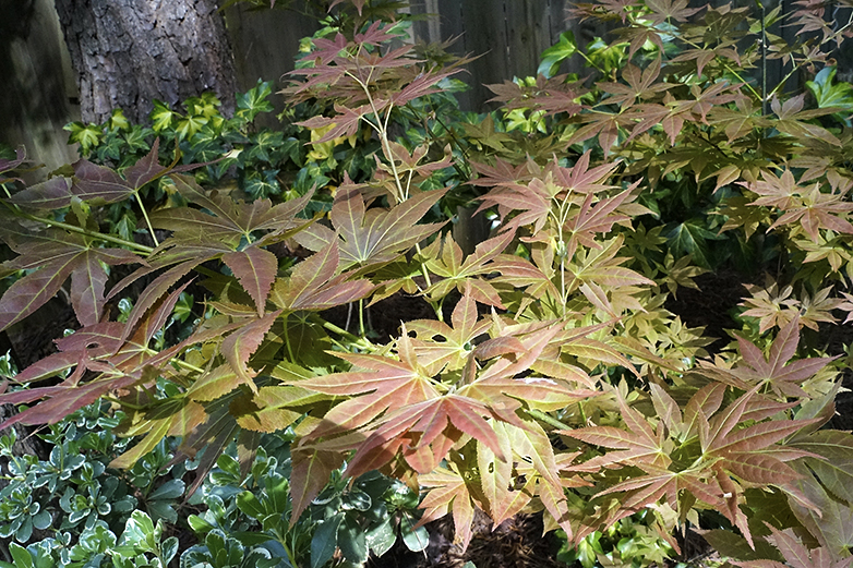 Amazing Maples In The Yarden Finegardening