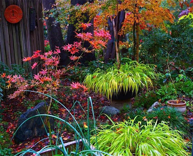 Japanese Maples Set Fire To This Fall Garden Finegardening