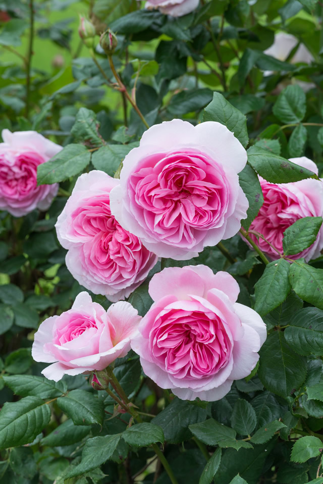 9060dd9555e New 2017 Rose Introductions from David Austin Roses - FineGardening