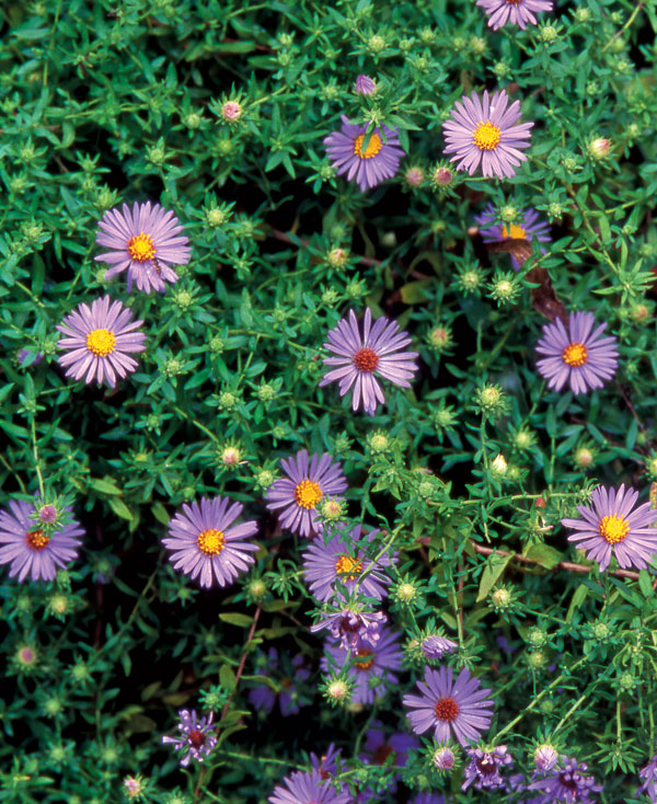 All About Asters Finegardening