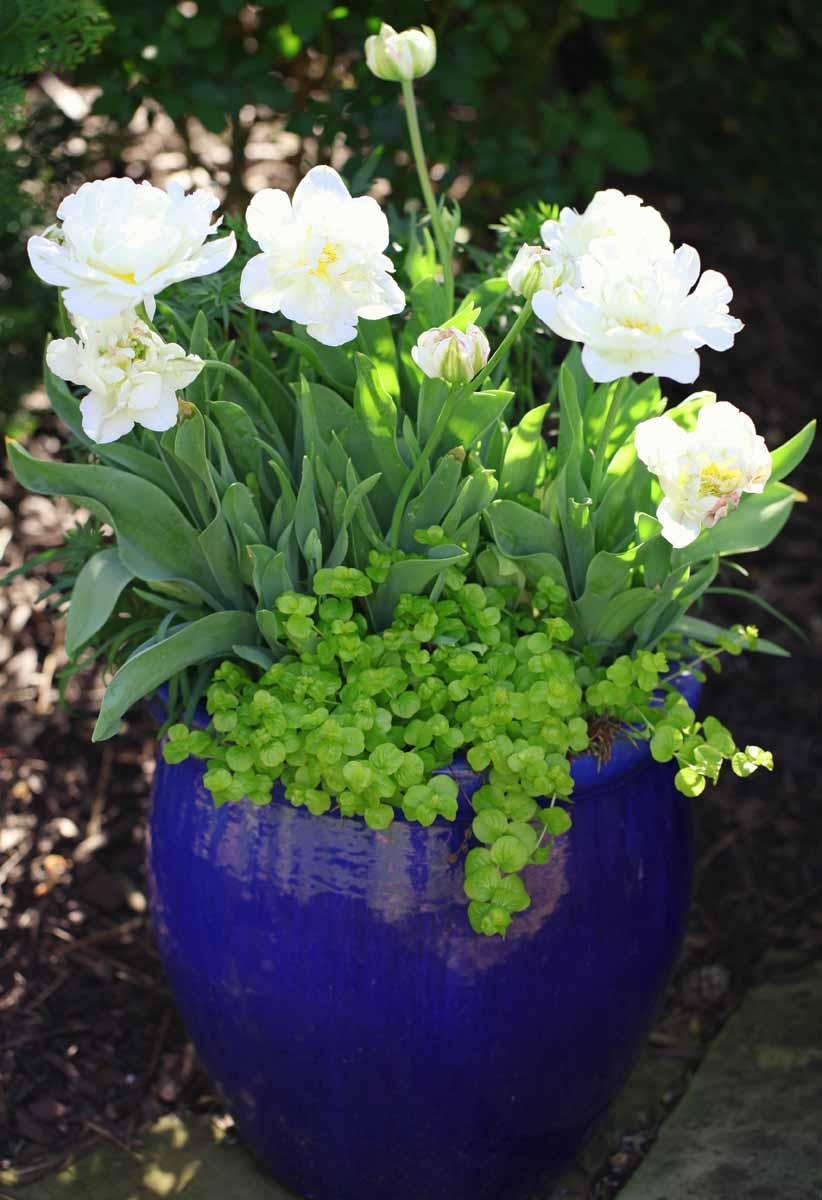 Как вырастить тюльпаны дома в горшке? 95