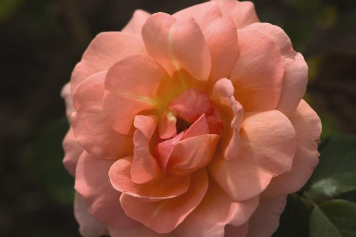 Easy Elegance Rose