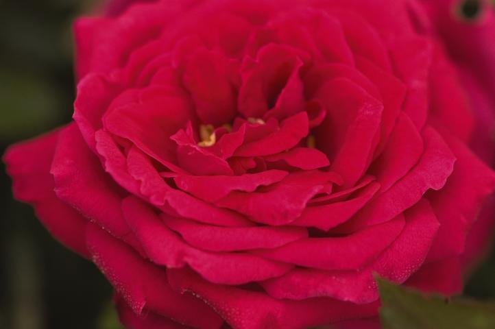 Easy Elegance Rose 'My Girl'