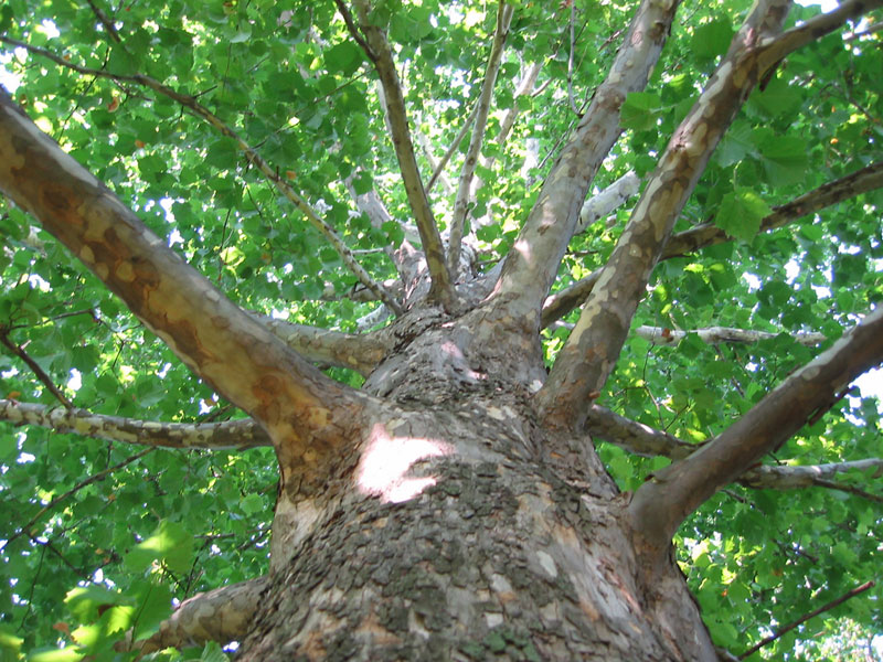 Fast Growing Trees To Avoid Finegardening