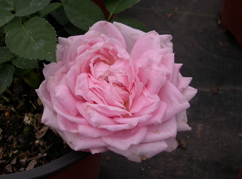 Chamblee S Rose Nursery A Mail Order Nursery You Should Know