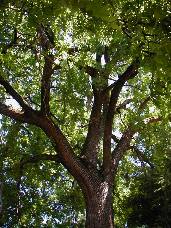 Fast-growing Trees to Avoid - FineGardening