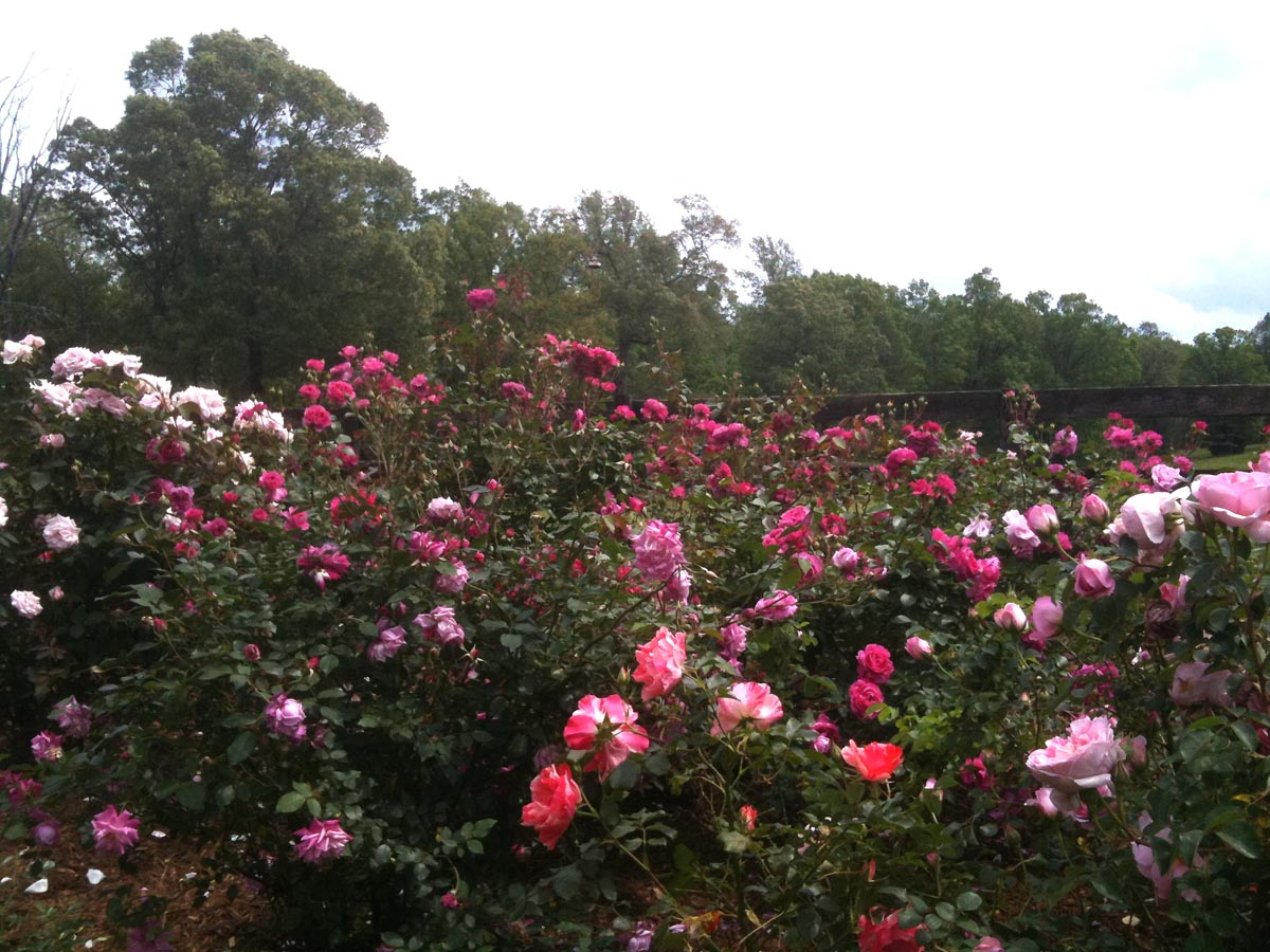 What Is The Proper Spacing When Planting Roses Finegardening