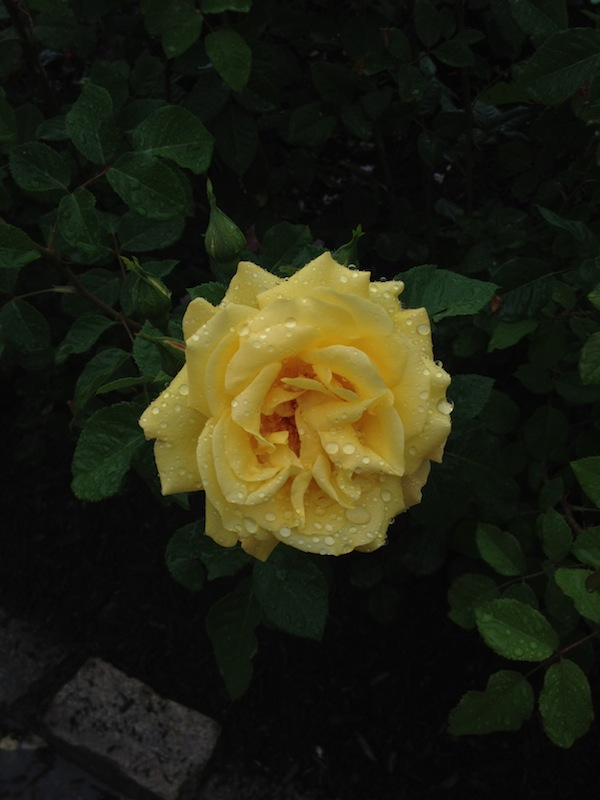 Regularly Trimming A Rose During The Season Finegardening