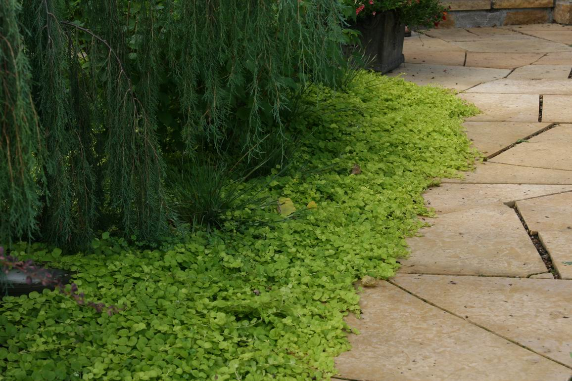 Jenny Covers Ground Finegardening, Is Creeping Jenny A Good Ground Cover