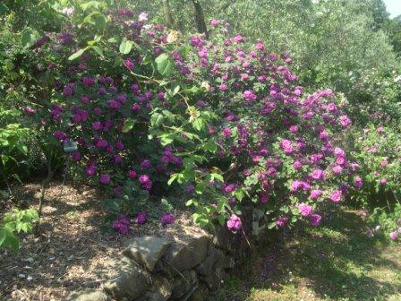 Summer Pruning Roses In A Hot Climate Finegardening