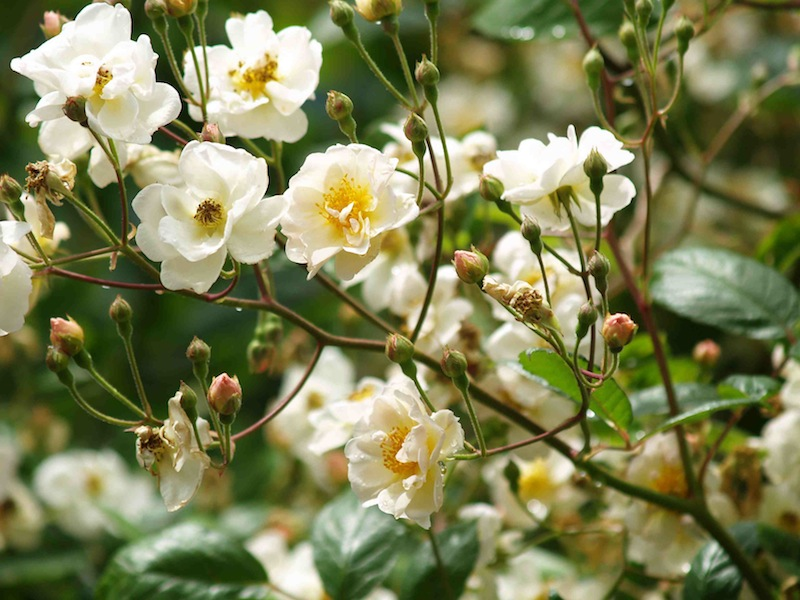 Heirloom Roses Nursery A Mail Order Nursery You Should Know