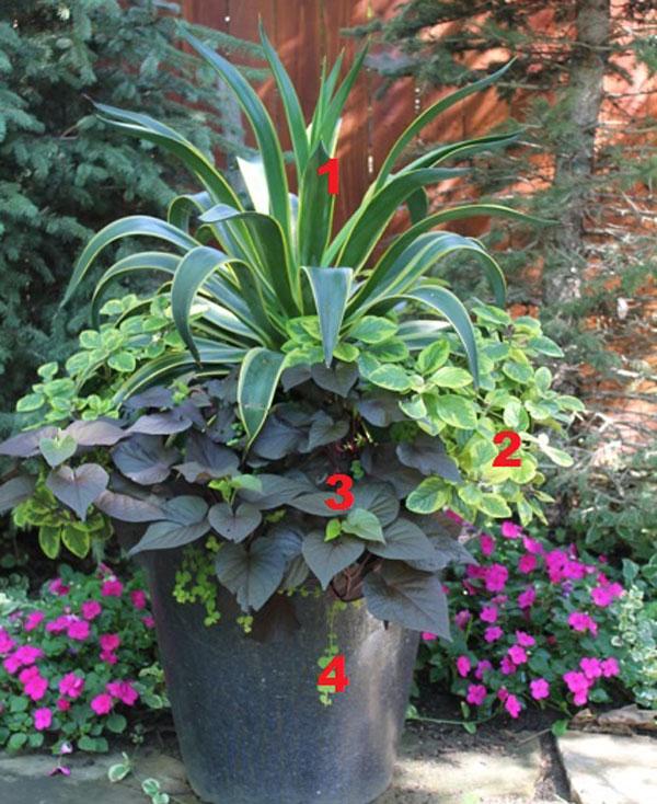 ACE OF SPADES SWEET POTATO VINE IPOMOEA 8 STARTER PLANTS