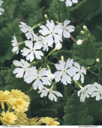 White flowers of P. sieboldii